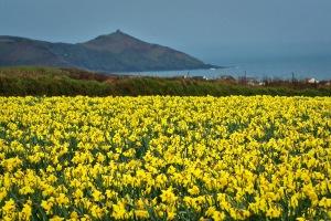 DaffodilsCornwall